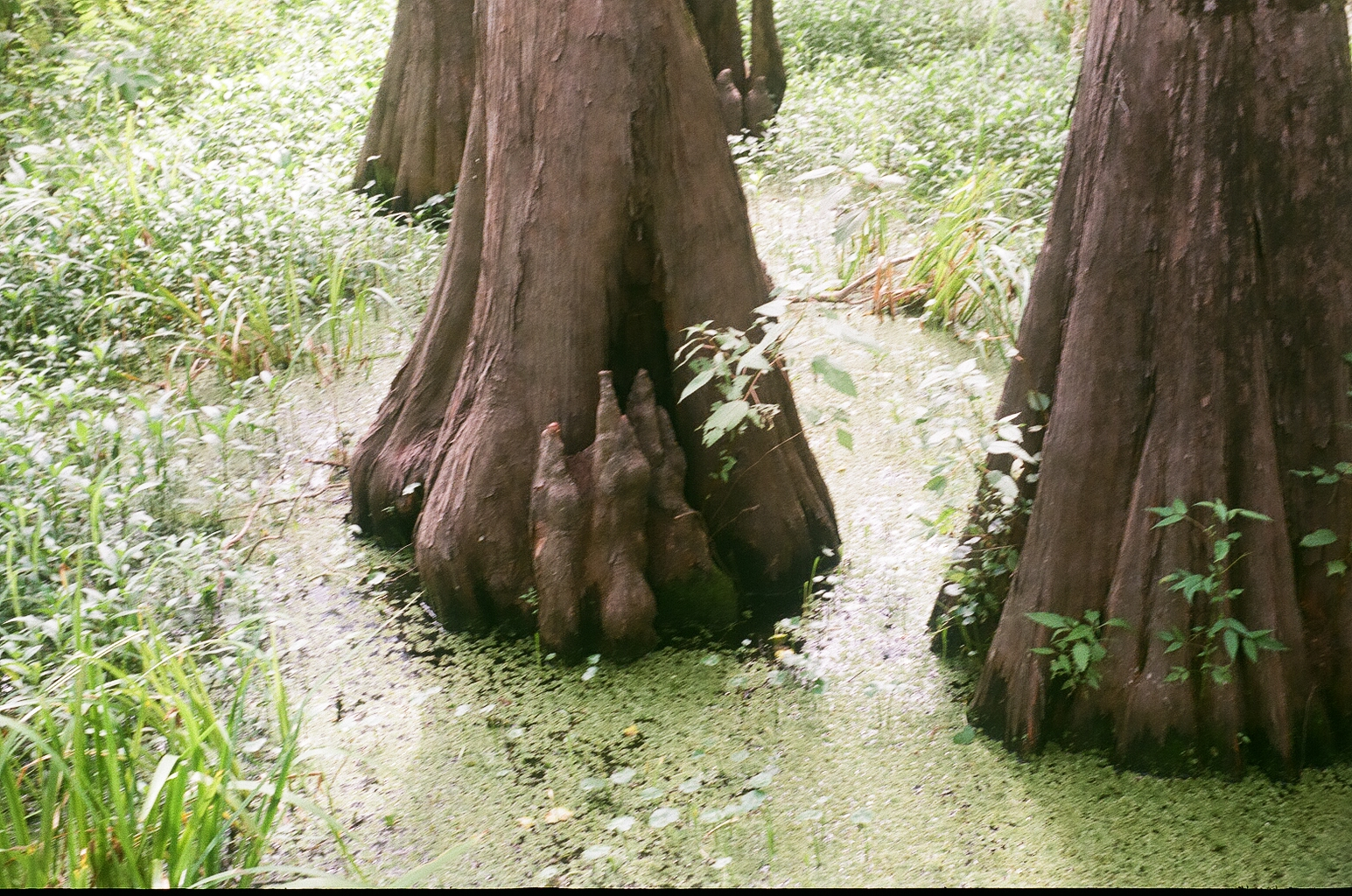 Cypress knees rising out of the water