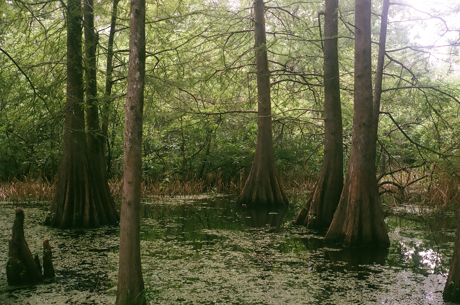 A clear shot of more cypress trees