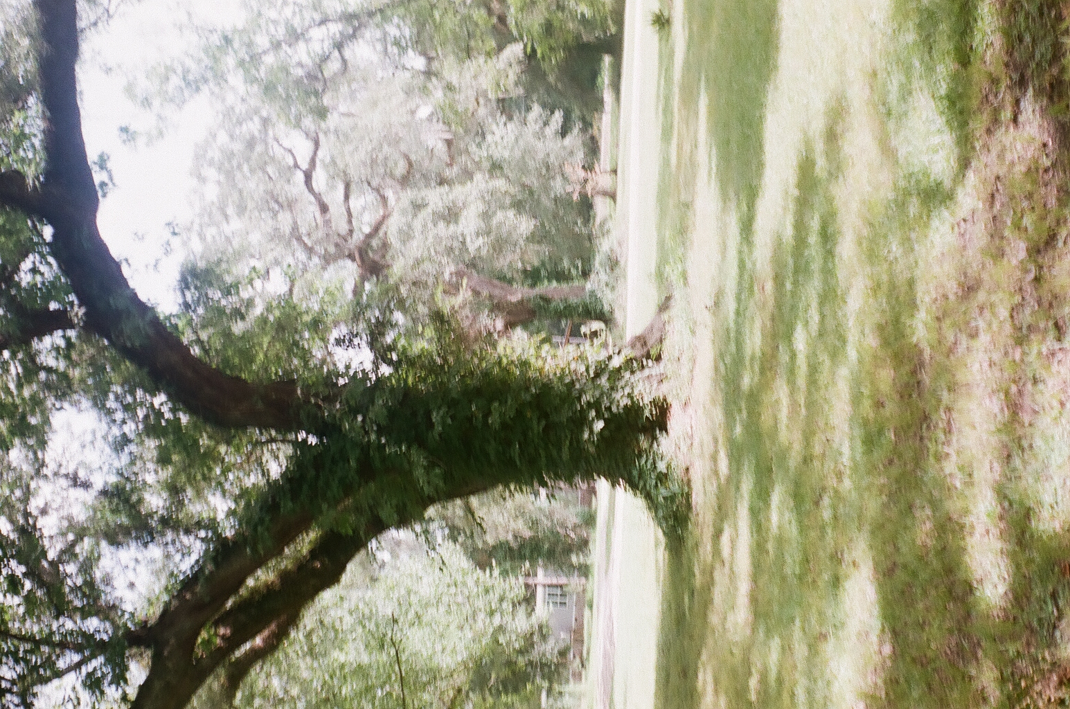 A sideways photo of a live oak