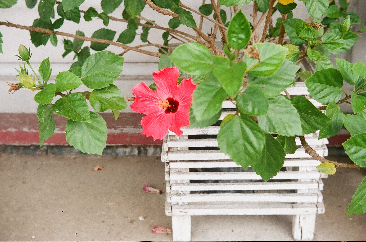 A bright red flower in a white stand and the greenery all around